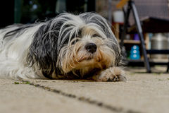 Tibetan Terrier looking up from a nap. Tired Tibetan Terrier looking up from a nap she took on the porch Stock Image