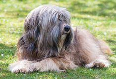 Tibetan Terrier. A male purebred tibetan terrier dog lying in the grass Royalty Free Stock Photos