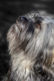 Tibetan Terrier monochrome Stock Images
