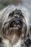 Tibetan Terrier nose Stock Photos