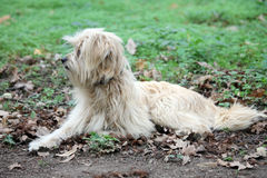 Tibetan Terrier. Outside in nature Royalty Free Stock Photo