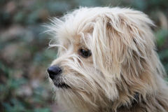 Tibetan Terrier. Outside in nature Royalty Free Stock Images