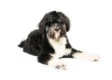 Tibetan terrier. Picture of a tibetan terrier Royalty Free Stock Photos