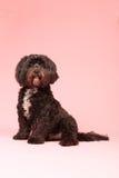 Tibetan terrier on pink background Royalty Free Stock Photo