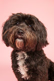 Tibetan terrier on pink background Stock Photography