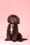Tibetan terrier on pink background Royalty Free Stock Photo