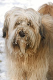 Tibetan Terrier portrait Stock Photos