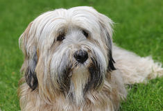 Tibetan Terrier portrait Royalty Free Stock Images