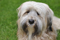 Tibetan Terrier portrait Royalty Free Stock Photos