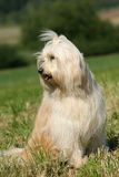 Tibetan Terrier. Posing for the camera stock photography