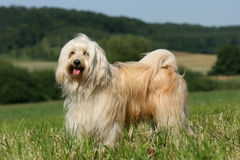 Tibetan Terrier. Posing for the camera Royalty Free Stock Photo