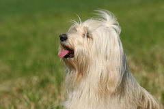 Tibetan Terrier. Posing for the camera stock photo