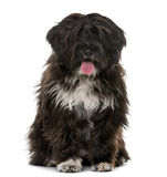 Tibetan Terrier puppy in front of a white background Royalty Free Stock Photography
