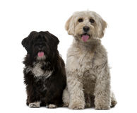 Tibetan Terrier and puppy in front of a white background Royalty Free Stock Photo