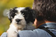 Tibetan terrier puppy looking over mans shoulder. Tibetan terrier puppy looking over man`s shoulder with  blurred background outdoors, selective focus Stock Image