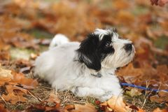 Puppy is handed a cookie. Tibetan terrier puppy lying on autumn leaves and looking at cookie. Very shallow depth of field, focus on the nose stock image