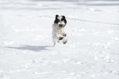 Tibetan terrier puppy running in the snow. Happy Tibetan terrier puppy running in the snow, selective focus, blank space stock photos