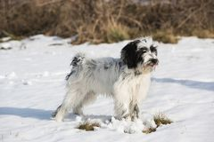 Tibetan terrier puppy standing in the snow. Happy wet Tibetan terrier puppy standing in the snow with the dog tongue sticking out, selective focus royalty free stock photography