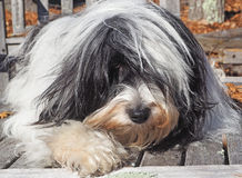 Tibetan Terrier Relaxing Outside Natural. Black and white shaggy Tibetan Terrier relaxing outside on a table in the fall Royalty Free Stock Image