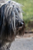 Tibetan Terrier site Stock Image