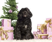 Tibetan terrier sitting Stock Photo