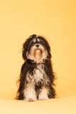 Tibetan Terrier on yellow background Stock Images