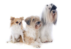 Tibetan terriers and chihuahua Royalty Free Stock Photo