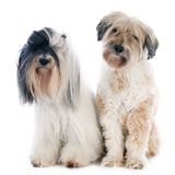 Tibetan terriers. In front of white background Stock Photo