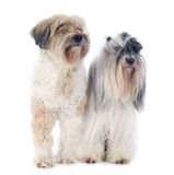 Tibetan terriers Stock Photos