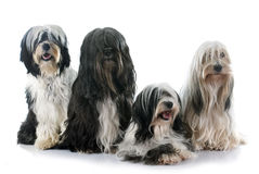 Tibetan terriers Royalty Free Stock Photography