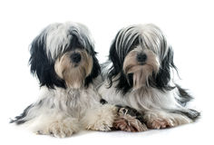 Tibetan terriers. In front of white background Royalty Free Stock Images