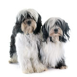 Tibetan terriers. In front of white background Royalty Free Stock Image