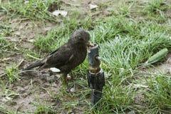 Tibetan thrush on grass drinking water Royalty Free Stock Images