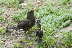 Tibetan thrush on grass drinking water Royalty Free Stock Photos