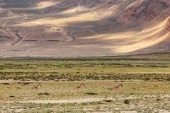 Tibetan Wild Ass or Kyang Equus Kiang on Changthang plateau in Ladakh. India stock image