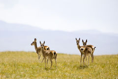 Tibetan wild gazelles Stock Images