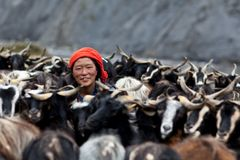 Tibetan woman with goats. DHO TARAP, NEPAL - SEPTEMBER 08: Tibetan woman with goats on September 08, 2011 in Dho Tarap Village, Dolpo district, Nepal Stock Photos