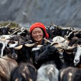 Tibetan woman with goats from Dolpo, Nepal. DHO TARAP, NEPAL - SEPTEMBER 08: An unidentified Tibetan nomad with goats in Dho Tarap Village, Dolpo district, Nepal Stock Image