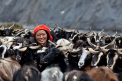 Tibetan woman with goats from Dolpo, Nepal. DHO TARAP, NEPAL - SEPTEMBER 08: Tibetan woman with goats on September 08, 2011 in Dho Tarap Village, Dolpo district Royalty Free Stock Photography