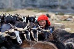 Tibetan woman with herd of goats Royalty Free Stock Photography