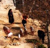 Tibetan woman herds her livestocks Stock Images