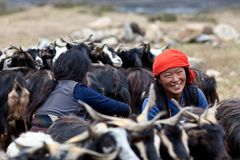 Tibetan women with goats. DHO TARAP, NEPAL - SEPTEMBER 08: Tibetan nomads with goats during the local Dho Tarap Full Moon Festival on September 08, 2011 in Dho Royalty Free Stock Photography