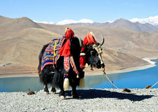 Tibetan yak Royalty Free Stock Images