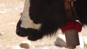 Tibetan yak chews stock footage