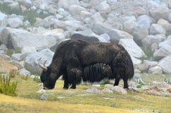 Tibetan  yak Royalty Free Stock Photo