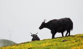 Tibetan yak eating grass Royalty Free Stock Photo