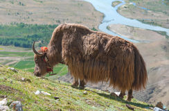 Tibetan yak Royalty Free Stock Photography