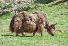 Tibetan yak Stock Photography