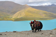 Tibetan Yak at Namtso Lake near Lhasa. Tibetan Yak on a pass near Lhasa, with turquoise Namtso Lake as backdrop Royalty Free Stock Images