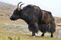 Tibetan  yak on pasture Stock Photos